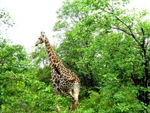 Giraf in Zuid-Afrika Royalty-vrije Stock Afbeelding