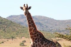 Giraf in Zuid-Afrika royalty-vrije stock foto's