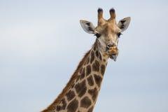 Giraf in Zuid-Afrika Royalty-vrije Stock Foto