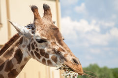 Giraf in Zuid-Afrika Stock Foto