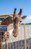 Giraf in Zuid-Afrika Royalty-vrije Stock Afbeeldingen