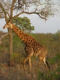 Giraf in Zuid-Afrika Stock Afbeelding
