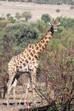 Giraf Zuid-Afrika met veel meer woorden stock fotografie