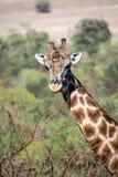 Giraf Zuid-Afrika met veel meer woorden stock afbeelding