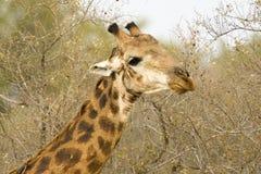 Giraf, Zuidelijke Giraf, Giraffa-camelopardalisgiraffa stock foto