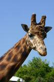 Girafa. Mother, in a french zoo, animal wild life parc brittany, france Royalty Free Stock Photography
