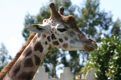 Girafa Royalty Free Stock Photos