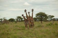 Girafa imagens de stock royalty free