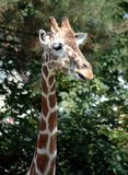 Girafa 3 Foto de Stock Royalty Free