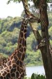 Girafa 1 imagem de stock