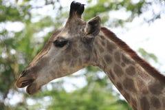 Girafa 4 imagens de stock
