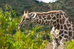 Girafa Foto de Stock Royalty Free