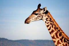 Girafa Fotografia de Stock Royalty Free