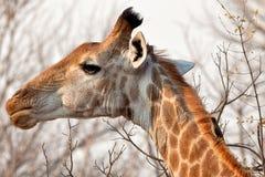 Girafa Imagem de Stock