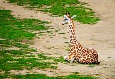 Girafa Fotografia de Stock