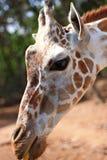 Girafa Imagem de Stock Royalty Free