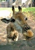 Girafa Foto de Stock