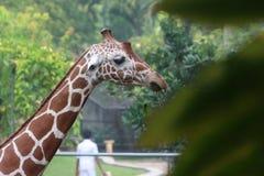 Girafa Imagens de Stock
