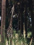 Girafa adulto em Florida Imagem de Stock Royalty Free