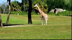 Girafa agradável no prado verde em jardins de Busch filme