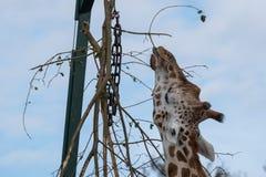 Girafa, alcançando acima e comendo as folhas de uma árvore alta no porto Lympne Safari Park, Kent Reino Unido imagens de stock