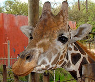 Girafa amigável Imagens de Stock Royalty Free