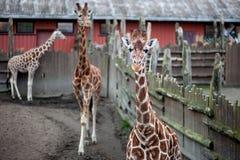 Girafa, animal, jardim zoológico, África, mamífero fotografia de stock
