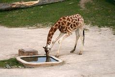 Girafa bebendo em um jardim zoológico Foto de Stock Royalty Free