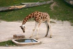 Girafa bebendo em um jardim zoológico Fotos de Stock Royalty Free