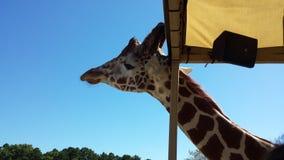 Girafa bonito Fotografia de Stock Royalty Free