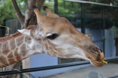 Girafa bonito no jardim zoológico Fotografia de Stock Royalty Free