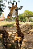 Girafa bonito, Tailândia Imagem de Stock Royalty Free