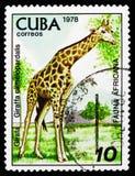 Girafa (camelopardalis) do Giraffa, serie de Havana Zoological Garden, cerca de 1978 fotografia de stock royalty free