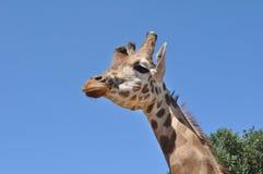 Girafa com fundo azul Fotos de Stock Royalty Free