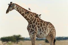Girafa com pássaros Imagem de Stock Royalty Free