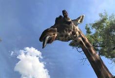 girafa com uma língua longa que olha a câmera Close-up fotografia de stock royalty free