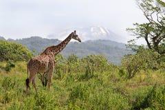 Girafa contra Kilimanjaro Fotos de Stock Royalty Free