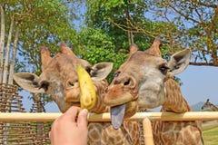 Girafa da alimentação da criança com mão fotografia de stock