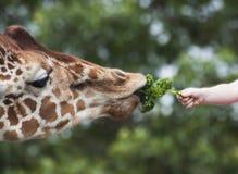 Girafa da alimentação de crianças à mão Imagem de Stock