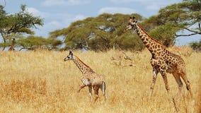 Girafa da mãe & do bebê Fotografia de Stock