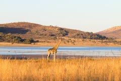 Girafa de África do Sul, parque nacional de Pilanesberg África Imagem de Stock