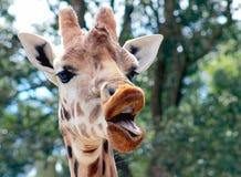Girafa de fala Foto de Stock