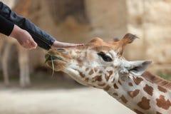 Girafa de Kordofan (antiquorum dos camelopardalis do Giraffa) imagens de stock