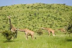 Girafa de quatro Masai na grama verde na tutela dos animais selvagens de Lewa, Kenya norte, África foto de stock royalty free