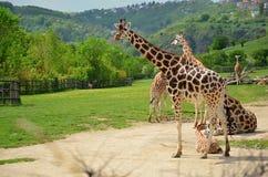 Girafa de Rothschild no jardim zoológico em Praga imagem de stock royalty free