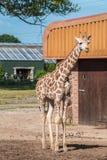 Girafa de Rothschild três semanas velho Fotografia de Stock