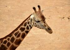Girafa - detalhe Fotos de Stock Royalty Free