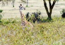 Girafa do bebê fotografia de stock