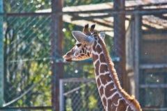 Girafa do bebê Imagem de Stock