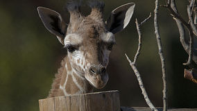 Girafa do bebê Imagens de Stock